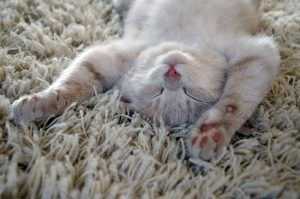 Removing Pet Stains Cat Urine Dog Urine From Carpets